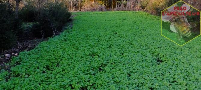 Semis des couverts hivernaux 2015 (moutarde blanche)