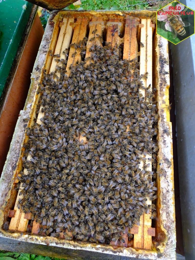 traitement varroa acide oxalique résultats apiculture abeille