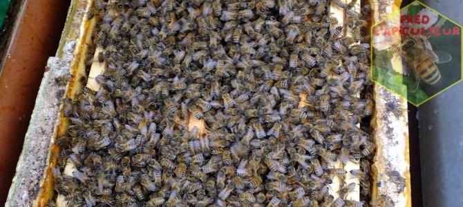 Vente d'essaims d'abeilles Buckfast (frère Adam) 2018