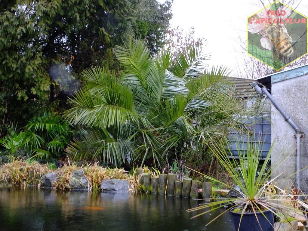 Jubaea palmier Chili résistant froid belgique