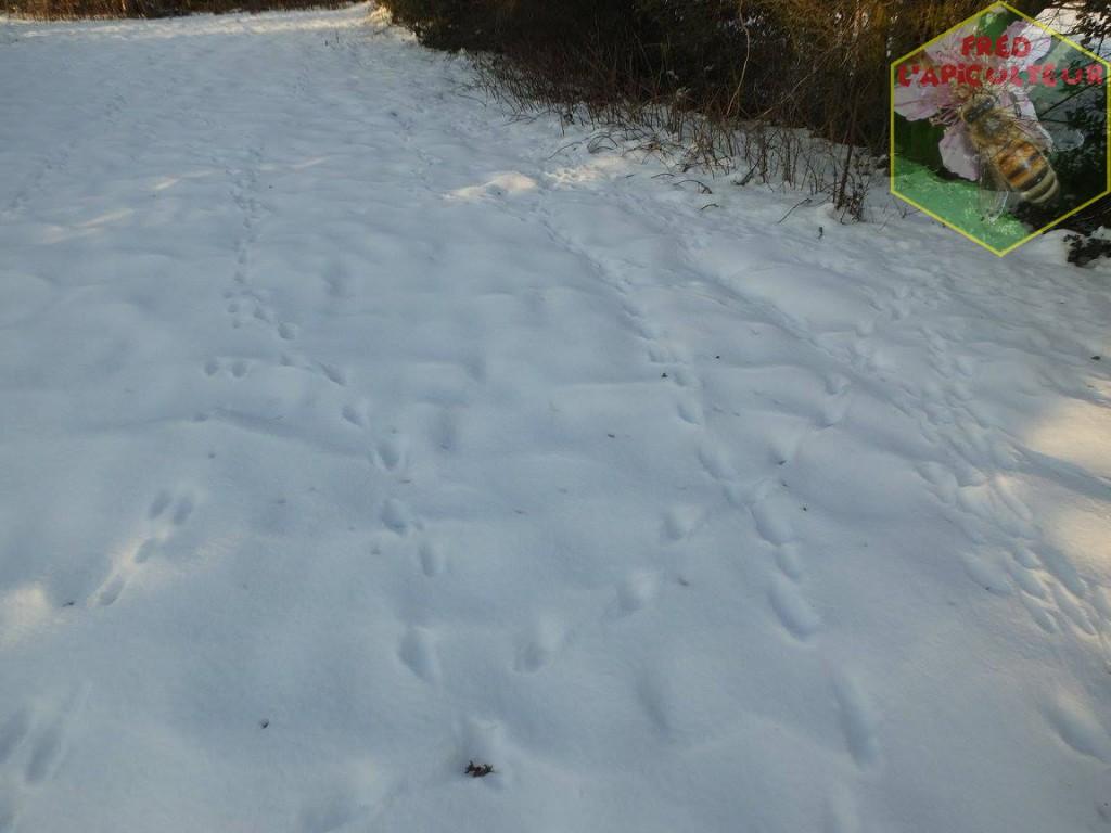 traces lièvre neige