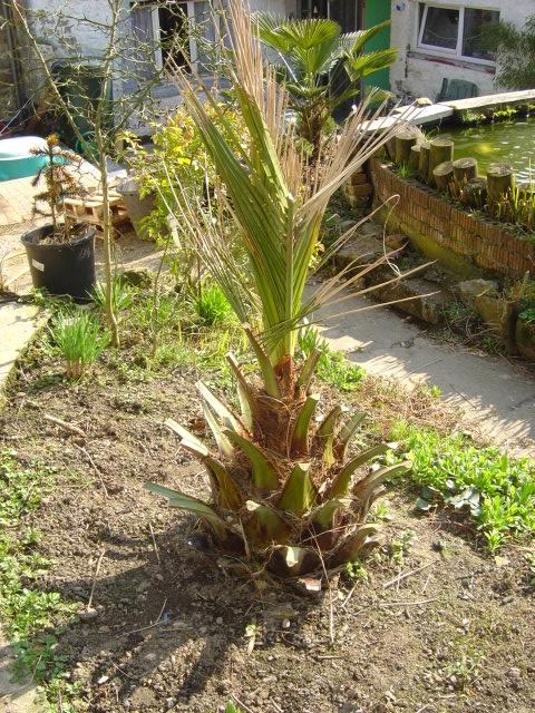 Jubaea palmier Chili résistant froid dégât froid