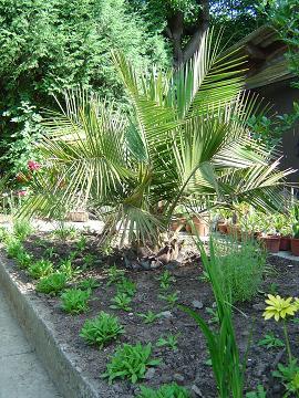 Jubaea palmier Chili résistant froid
