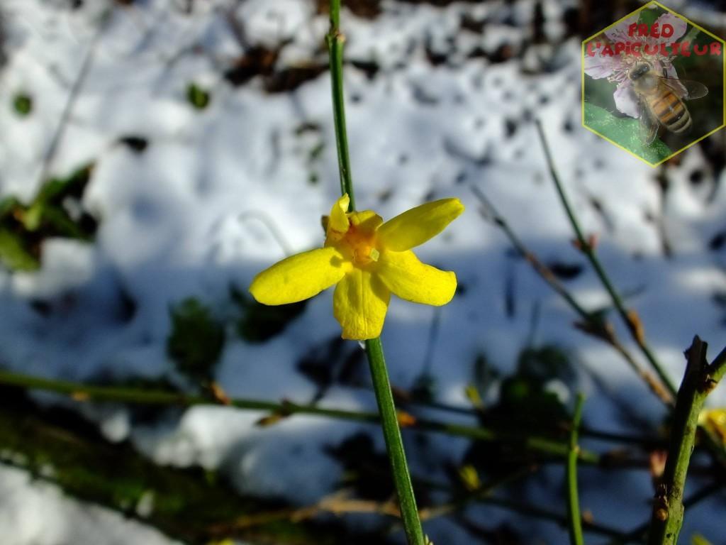 Jasmin d'hiver en fleur sous la neige