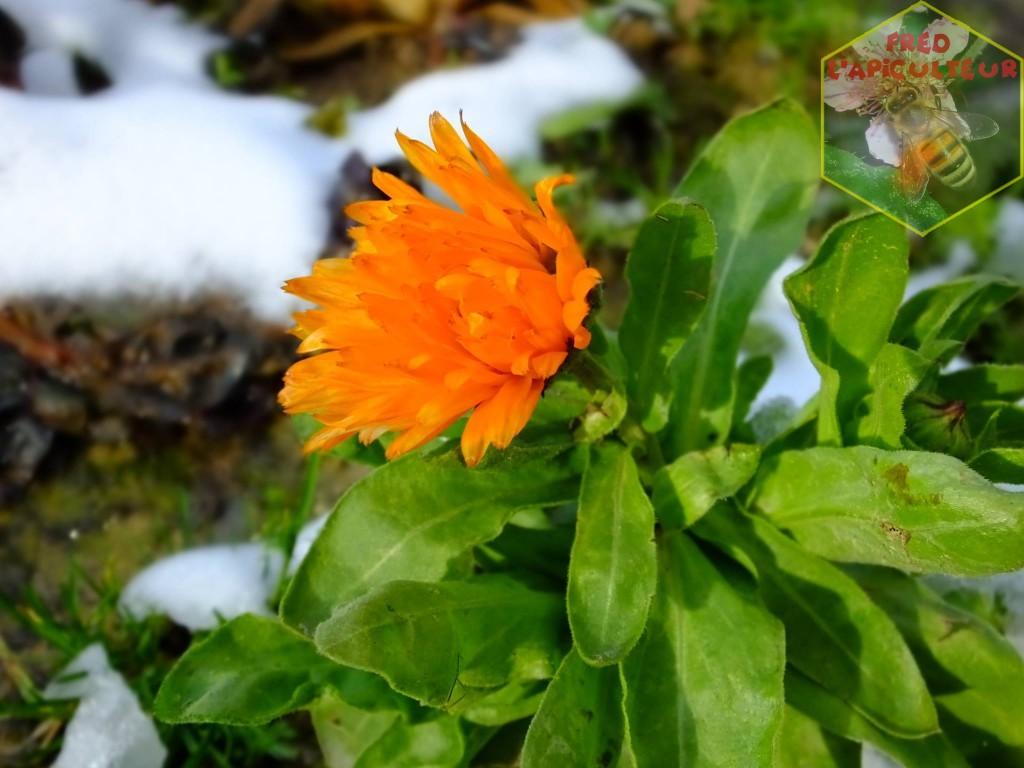 fleur de soucis sous la neige de février