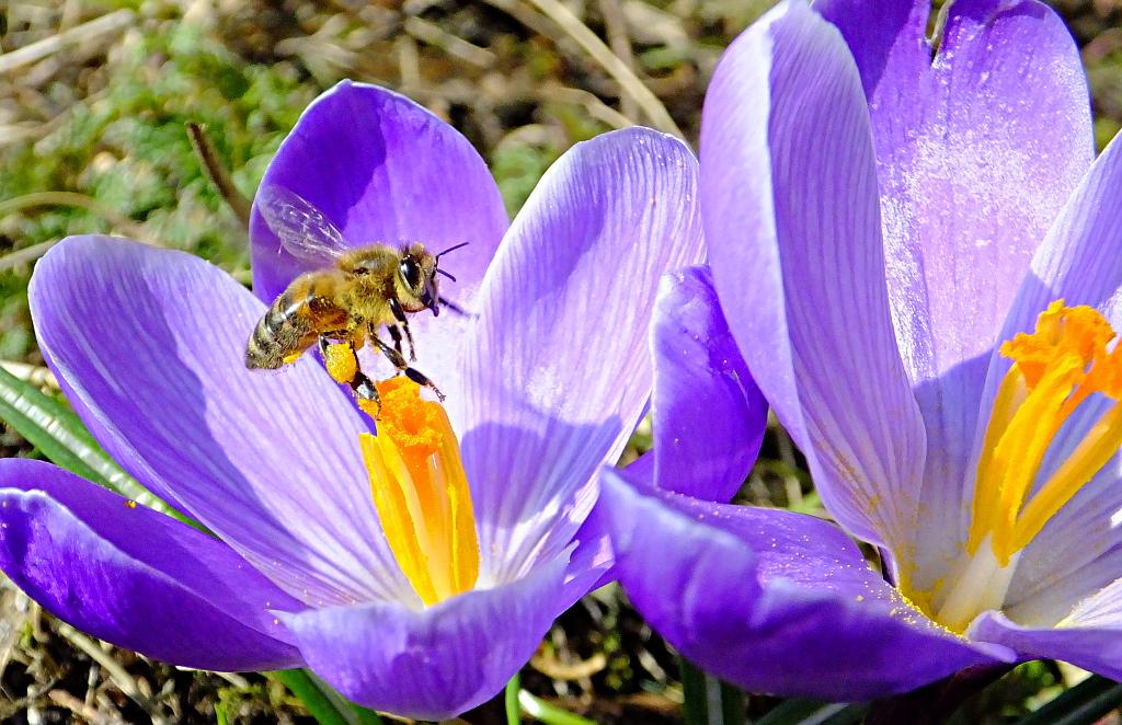 abeille sur crocus