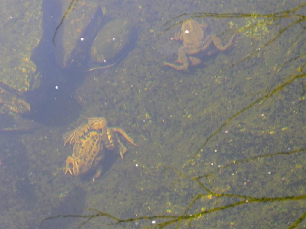 accouplement grenouille rousse