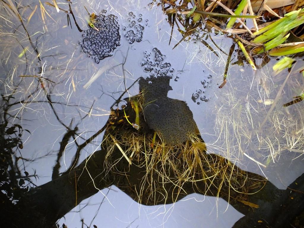 ponte grenouille rousse