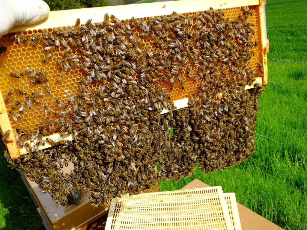 abeille ruche cadre mâles