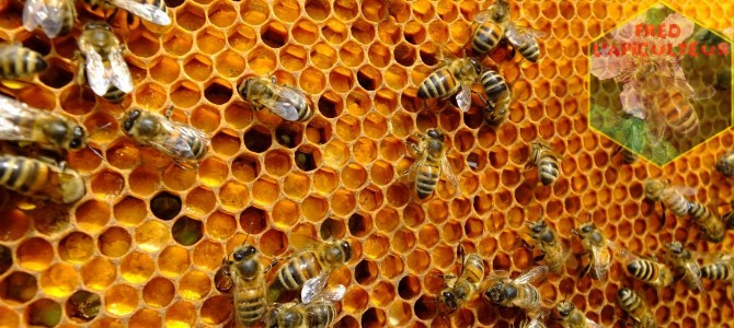 Premières grosses rentrées dans les ruches!