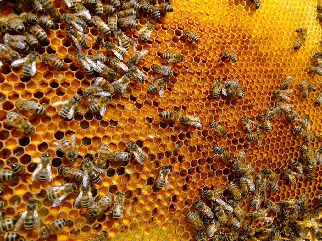 abeille ruche pollen saule