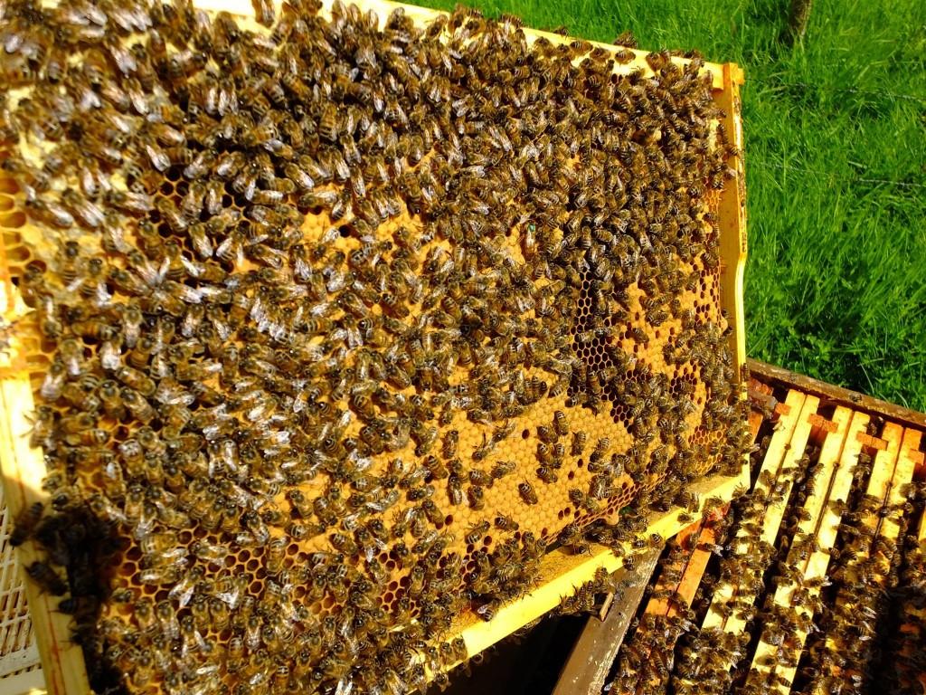 cadre couvain abeilles