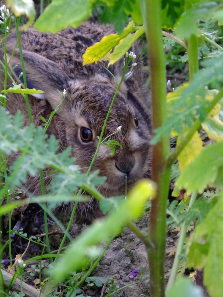 jeune lièvre jardin