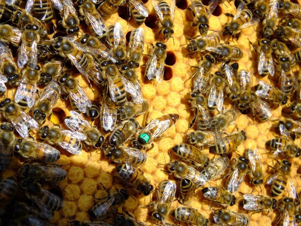 reine abeille couvain