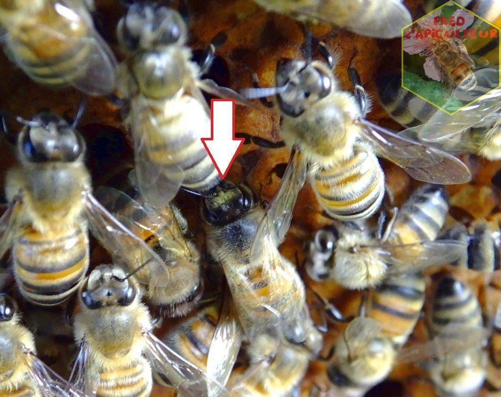 tache pollen tête abeille colza