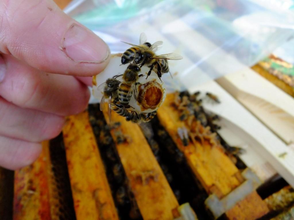 éclosion-reine -abeille-picking