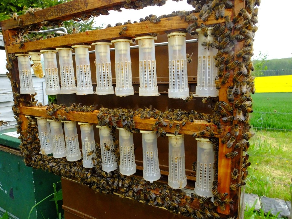 élevage reine abeille bigoudis