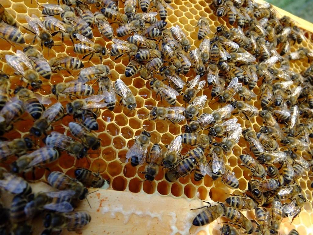 nectar frais de colza dans les ruches