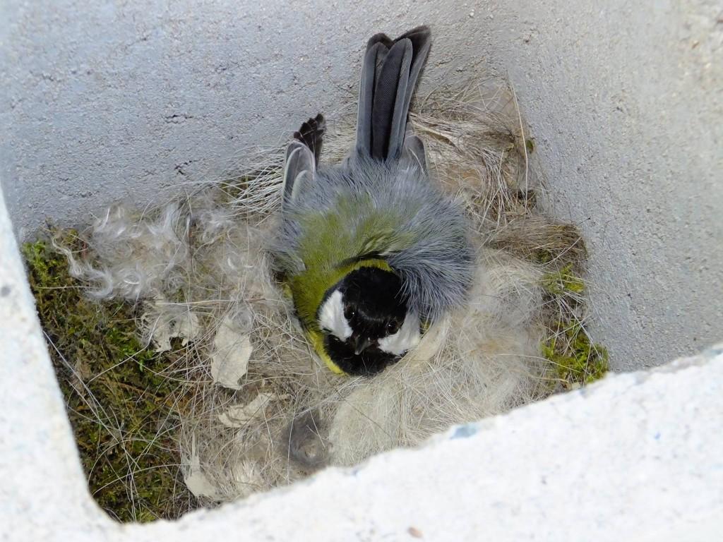 nid de mésange charbonnière dans un bloc de béton