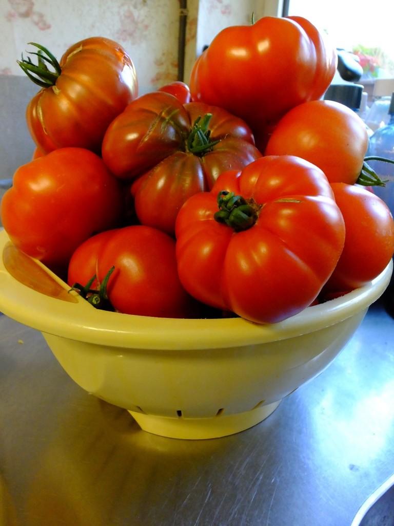 belle récolte de tomates en Belgique