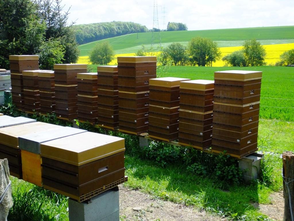 ruche-abeille-hausse-colza