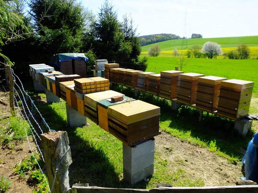 miellée colza ruche