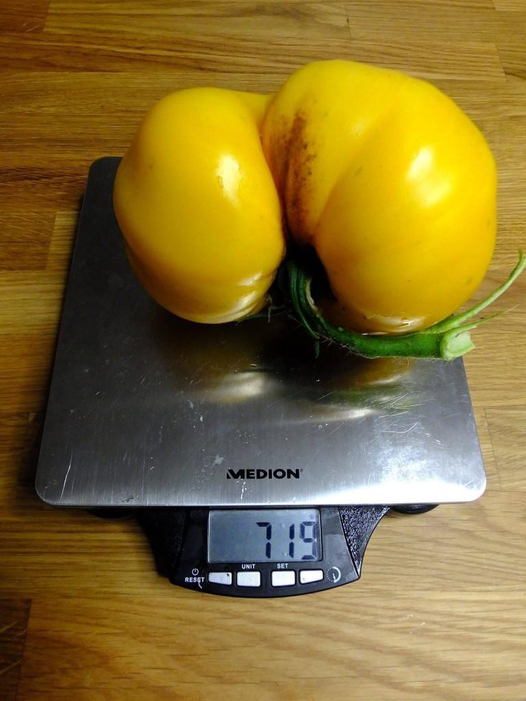 énorme tomate jaune
