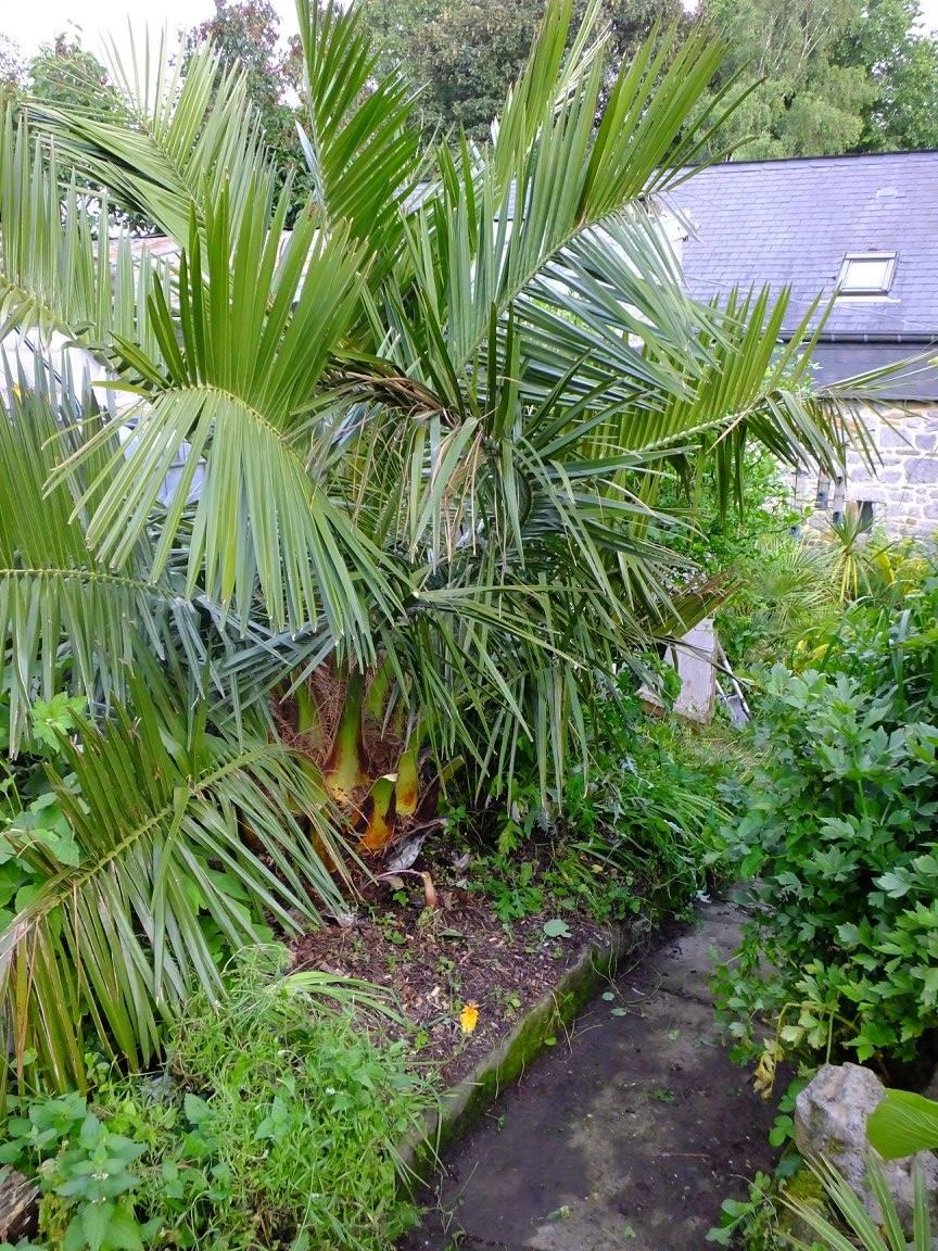 Jubaea chilensis cultivé en Belgique
