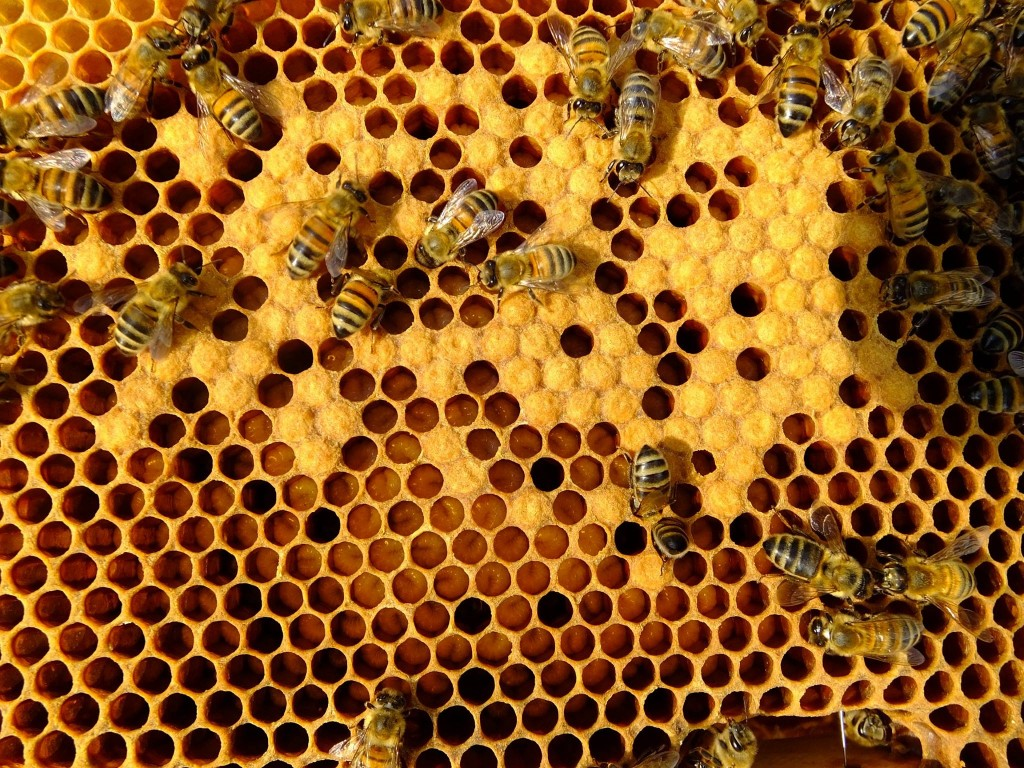 couvain jeune reine abeille
