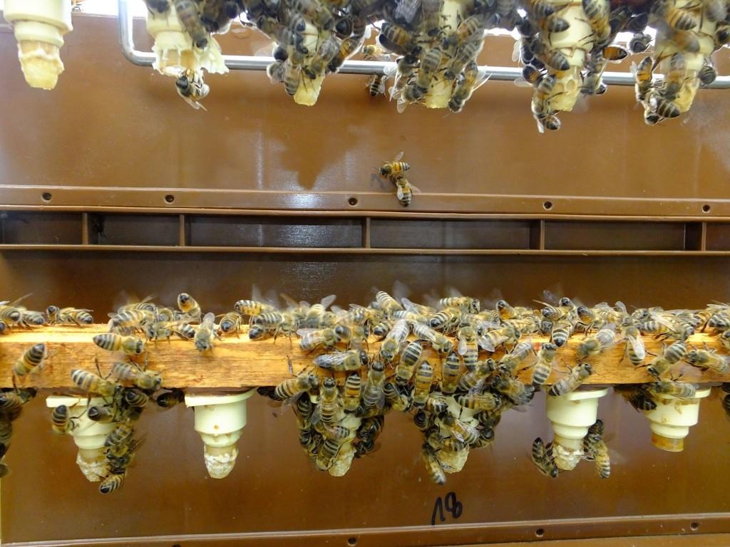 élevage reine abeille cupule