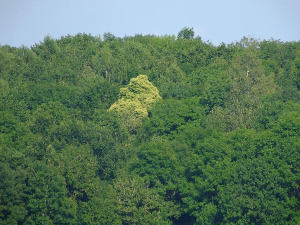 floraison châtaignier forêt