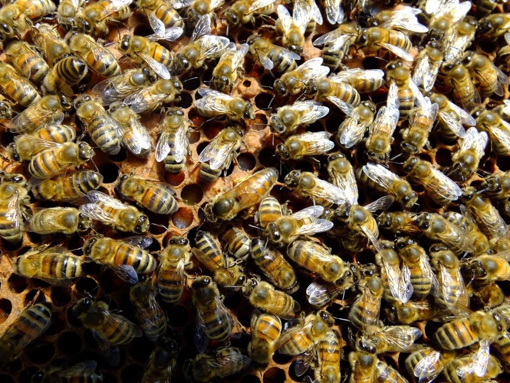 jeune reine abeille buckfast