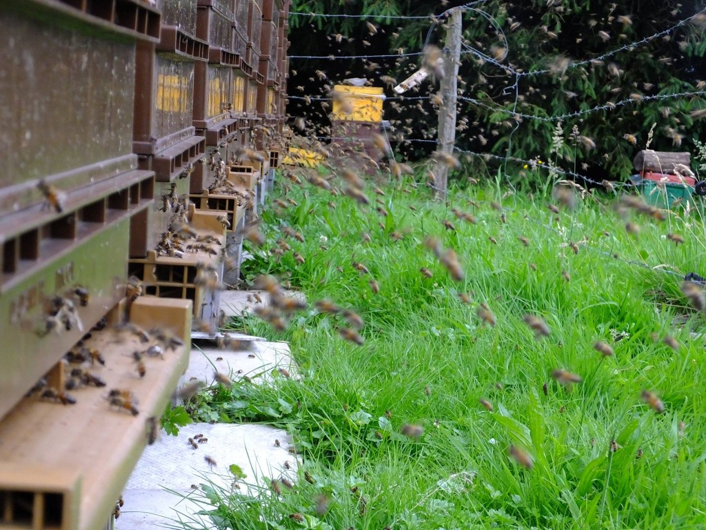 miellée ruche abeilles