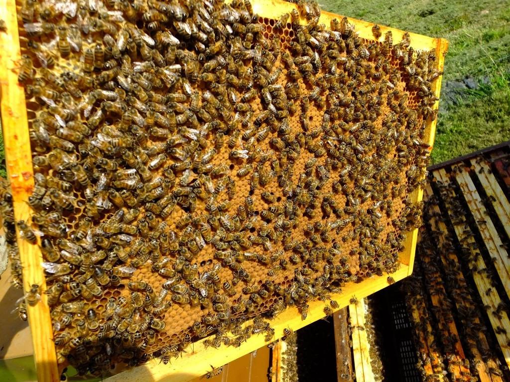beau cadre de couvain abeille