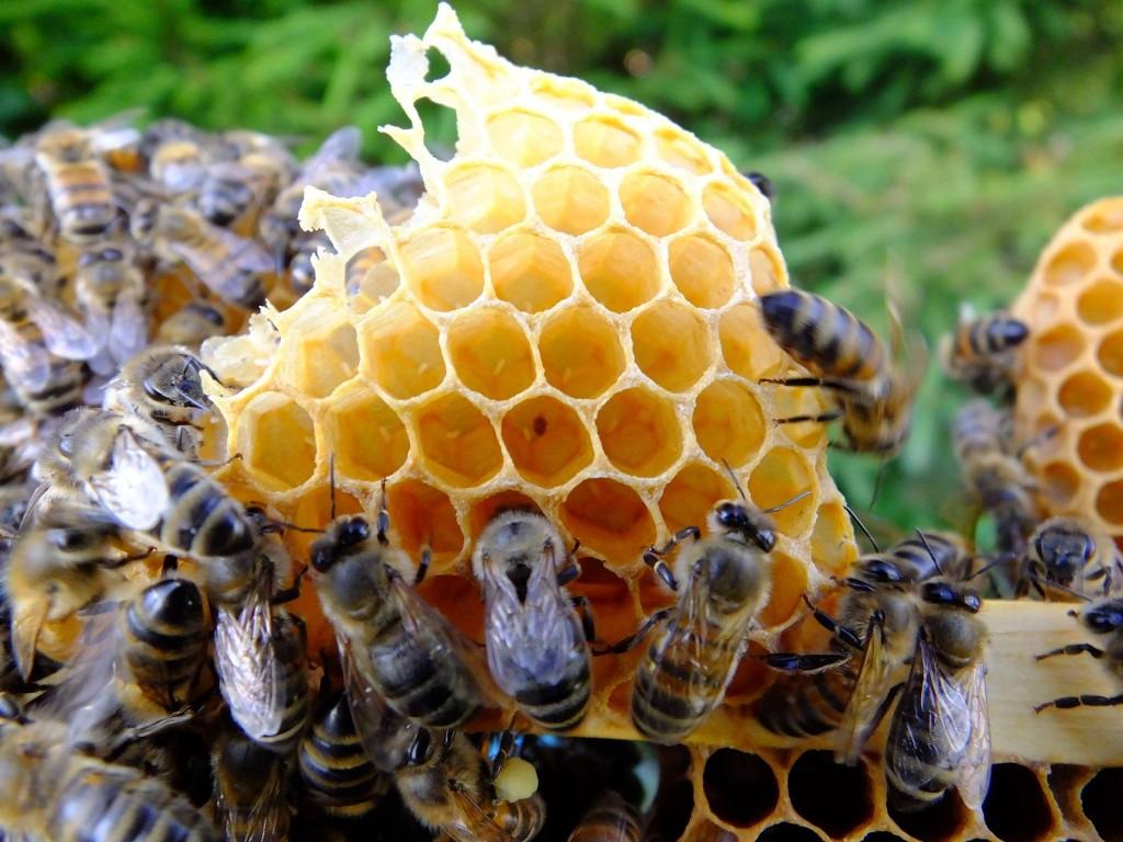 oeufs d'abeille
