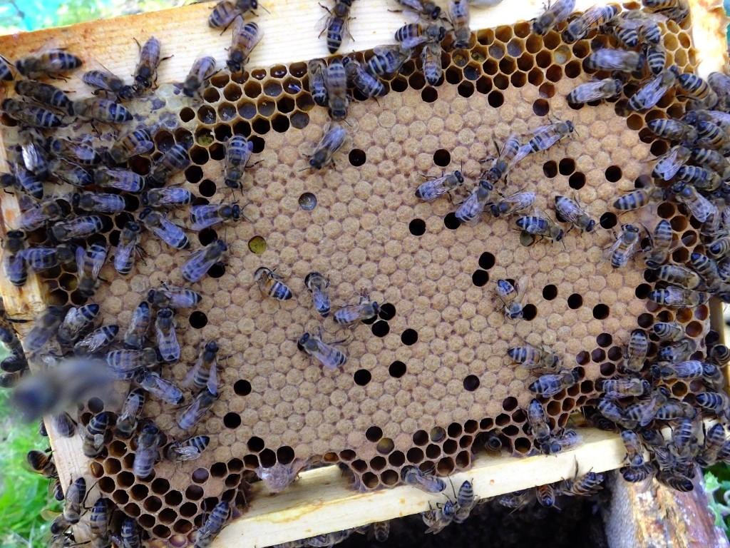 Magnifique superbe et parfait couvain abeille buckfast