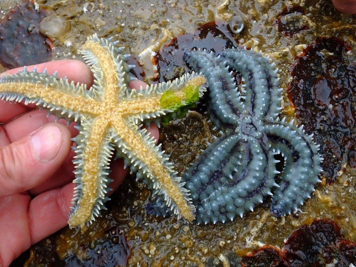 bretagne crozon pêche à pied étoile de mer