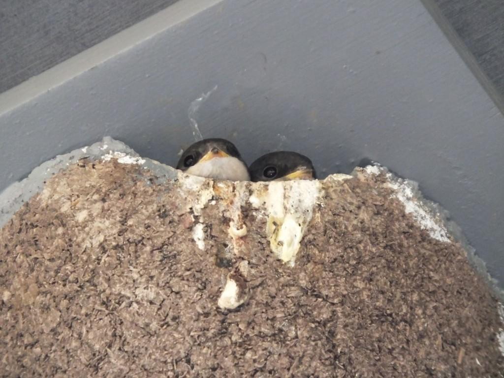 jeune-hirondelle-fenetre-nichoir