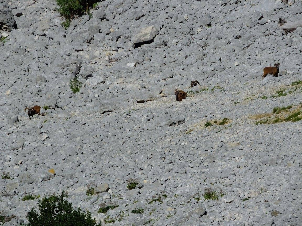 Massif Chartreuse charmant som mouflon