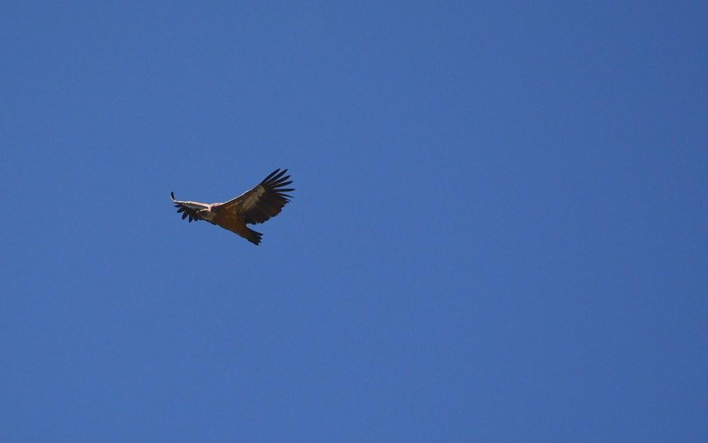 chartreuse vautours fauves