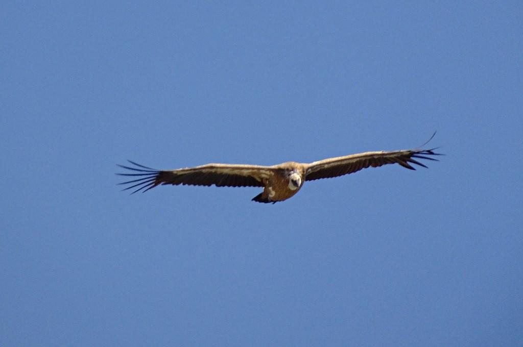 chartreuse vautour fauve