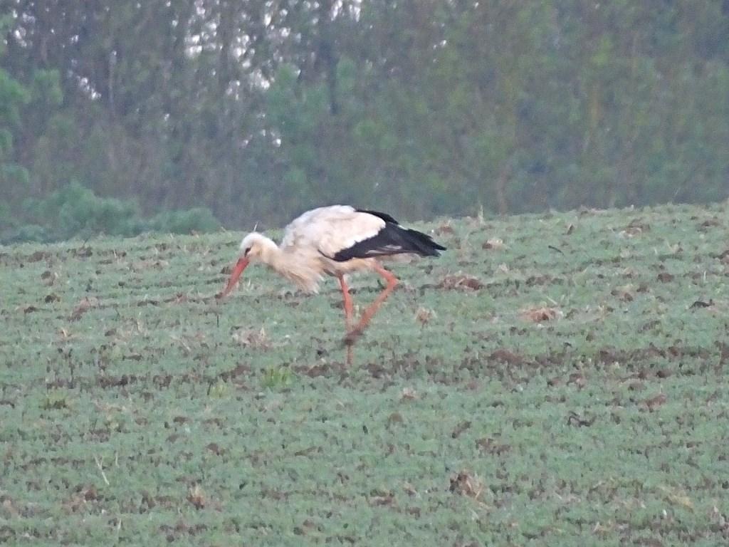 cigogne-blanche