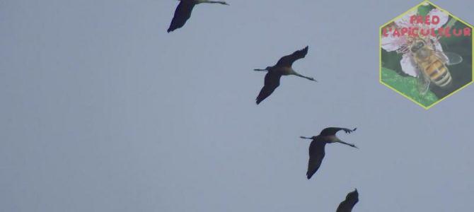 Migration des grues cendrées