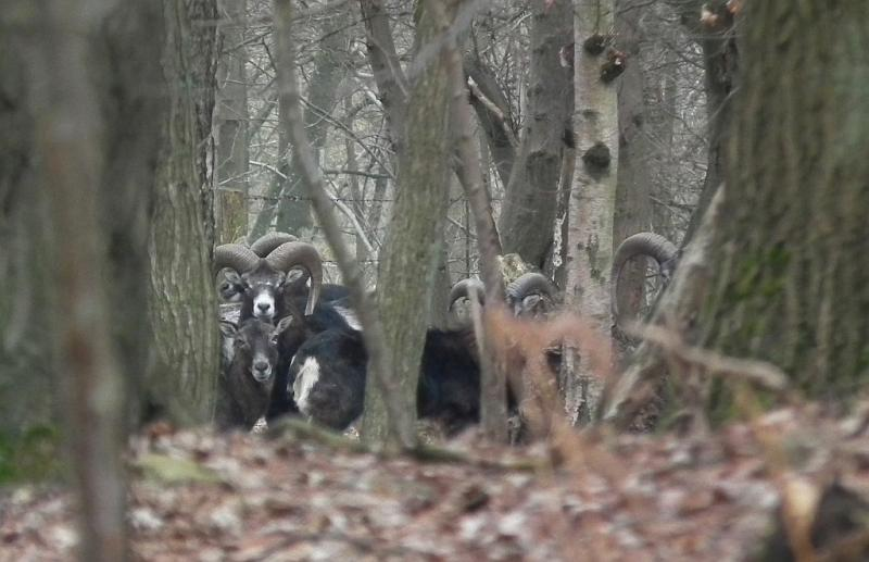 mouflon-1