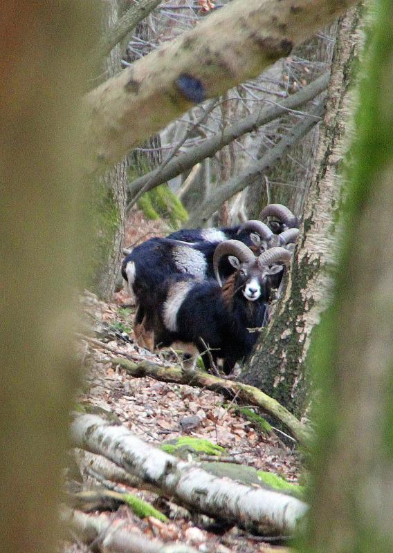 mouflon-2