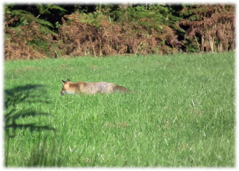 renard-roux-1