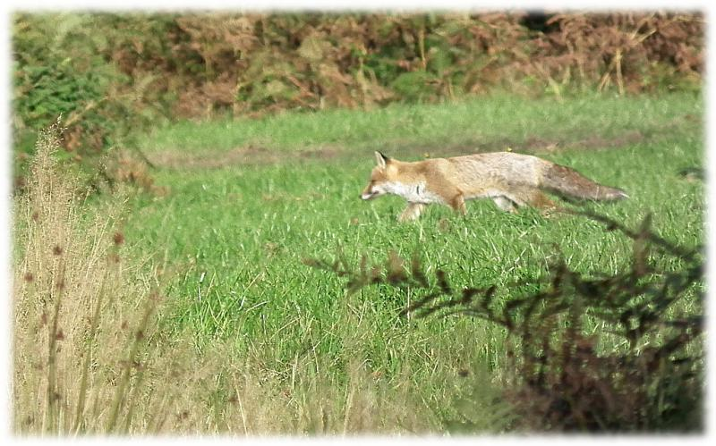 renard-roux