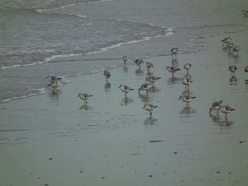 becasseau-sanderling-1