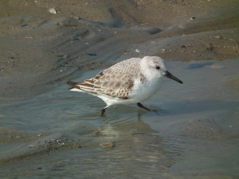becasseau-sanderling