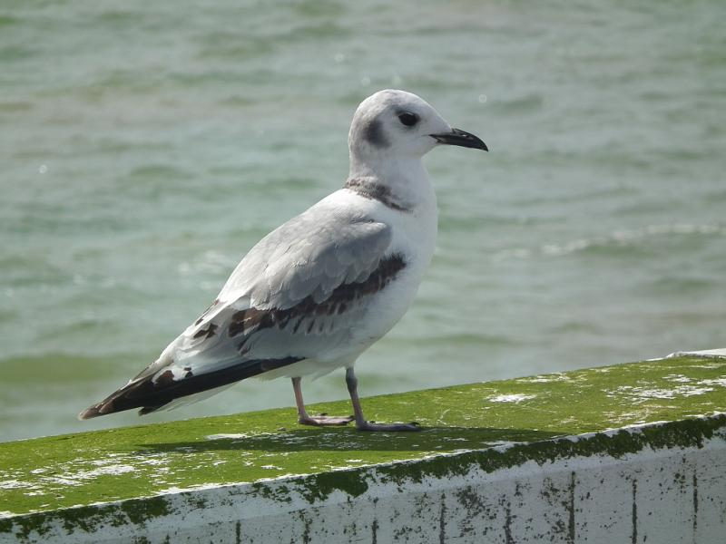 mouette-tridactyle